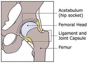 Hip-Anatomy-IHDI